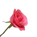 Hot Pink Rose Orlando