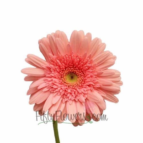 Pink Salmon Super Gerbera Daisy
