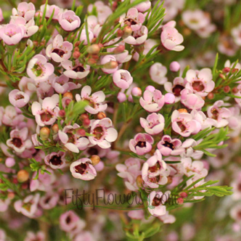 Light Pink Wax Flower Jan to April Delivery