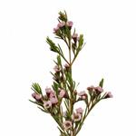 Wax Flower Light Pink