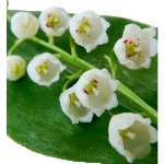 Fresh Lily of the Valley Flower