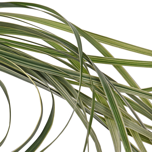 Fresh cut variegated lily grass greenery sold near me