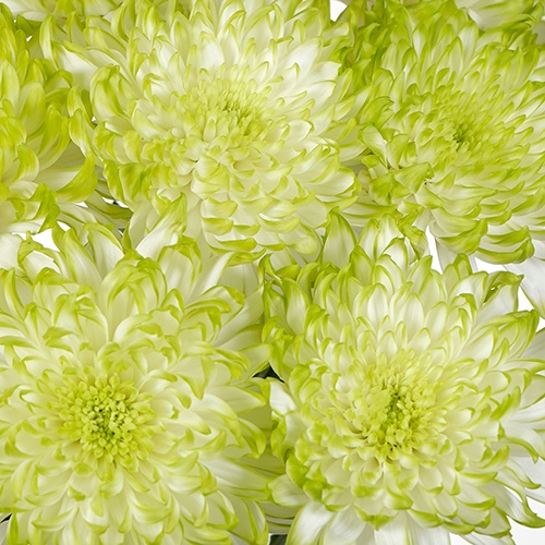 Electric Apple Chrysanthemum Cremon