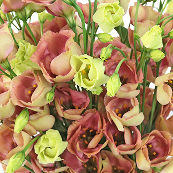 Terracotta Rose Single Lisianthus Flower for October to May Delivery