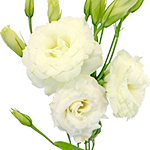 Lisianthus Flowers for a wedding