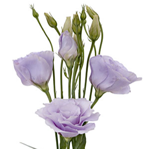 Lavender Lisianthus Flower for October to May Delivery