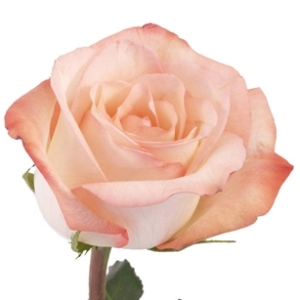 Livia Light Pink Rose