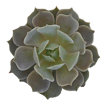 Buy succulents wholesale