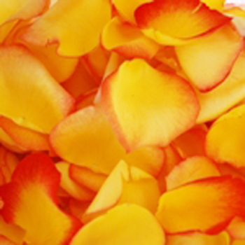 Rose Petals Yellow with Sunset Tips