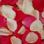 Magenta Rose Petals Wholesale