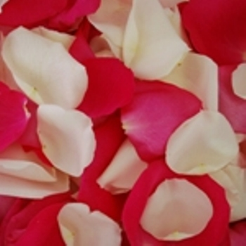 Raspberry Creamsicle Fresh Rose Petals