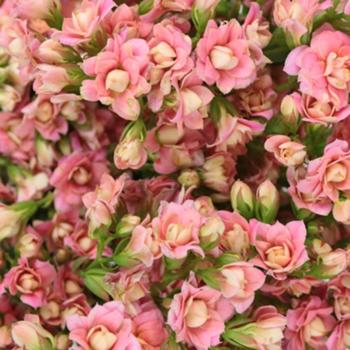 Charming Pink Kalanchoe Bulk Flowers