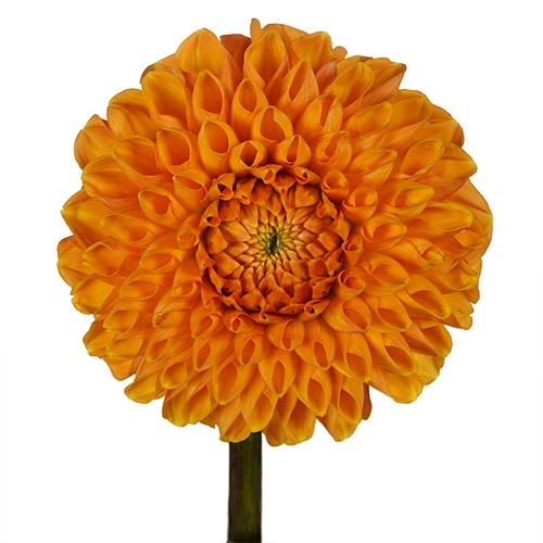 Egyptian Sun Dahlia Flower