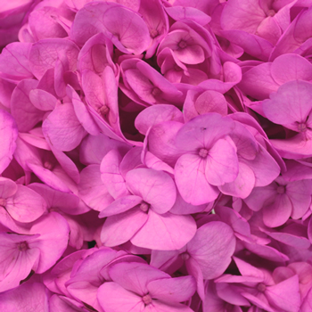 Magenta Enhanced Hydrangea