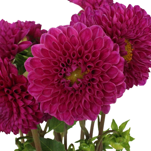 Berry Crush Dahlia Flowers