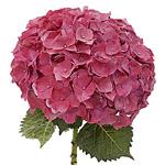 Magenta Hydrangea Flower