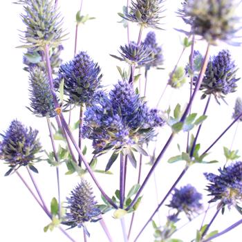Thistle Flower Magic Purple