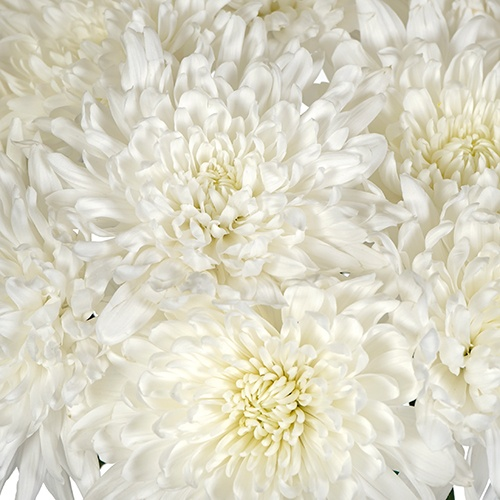 Paper White Chrystanthemum Cremon