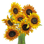 Sunflowers Ring of Fire