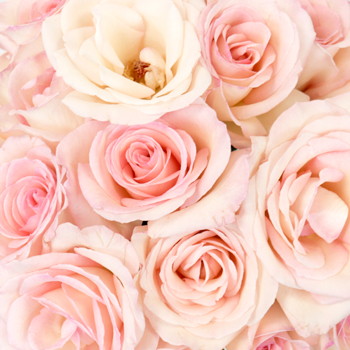 Creamy Pink Sweetheart Roses
