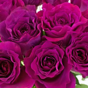 Fuchsia Mamy Blue Garden Rose