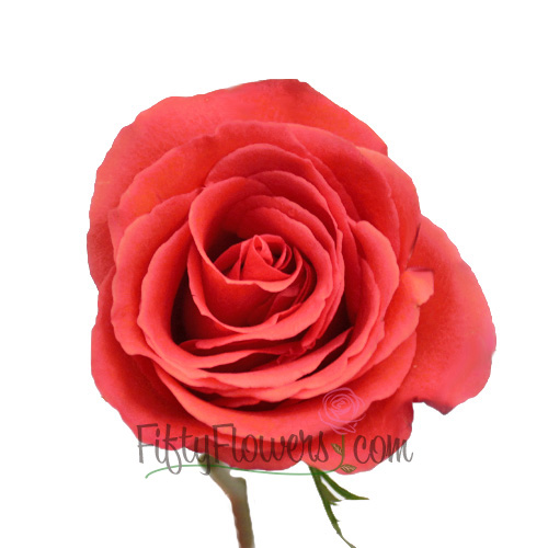 Manitou Salmon Orange Bulk Rose