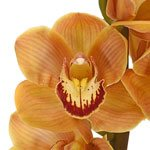Yellow Cymbidium Bulk Orchid Flower