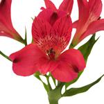 Bulk Alstromeria Burgogne flower