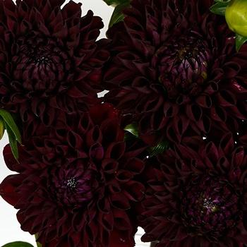 Dahlia Flower Velvet Wine