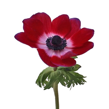 Berry Punch Fresh Cut Designer Anemones