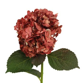 Marsala Airbrushed Hydrangea Flower