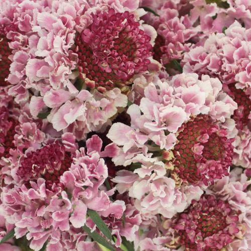 Strawberry blossom Scabiosa Flower
