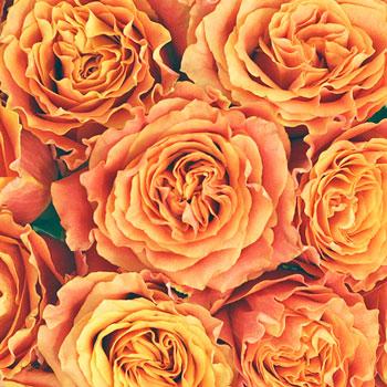 Autumn Flourish Rose