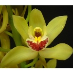 Orchids Mini Cymbidium White Flower