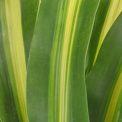 Masajeana Leaves Greenery