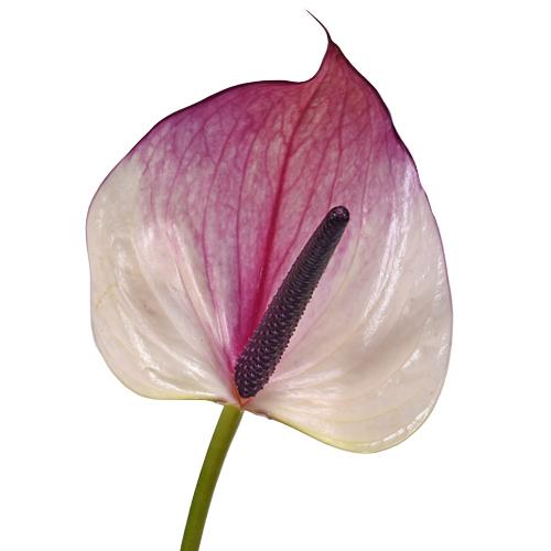 Grape Ice Designer Anthurium Flower