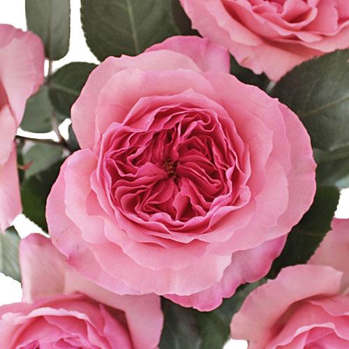 Cotton Candy Pink Garden Rose