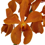 Fresh Cut Tangerine Orange Mokara Orchids