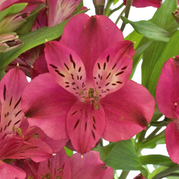 Merlot Alstroemeria Flower