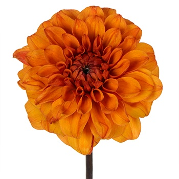 Midnight Orange Dahlia Flower