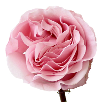 Pink Swirl Wholesale Rose