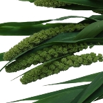 Wedding greenery millet fresh autumn filler flowers sold near me
