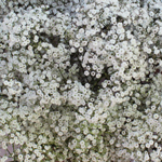 Baby_Breath_Flower_Million_Star_150.jpg
