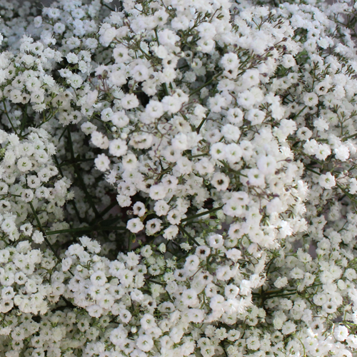 Million Star Bulk Baby's Breath Flower