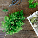 Mingsheet moss - Buy Bulk FREE SHIPPING!