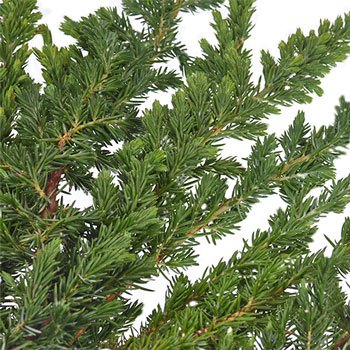 Ming Juniper Winter Greenery
