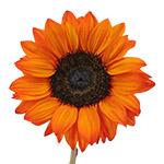 Bulk Sunflowers