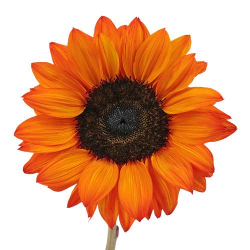 Mini Red Enhanced Sunflowers