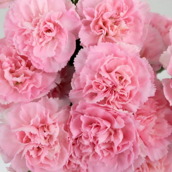 Pink Mini Carnation Flowers