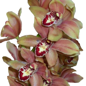 Mini Cymbidium Chocolatey Pink